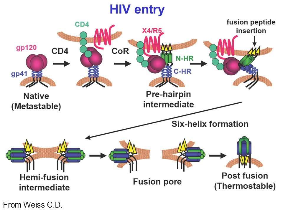HIV entry From Weiss C.D.