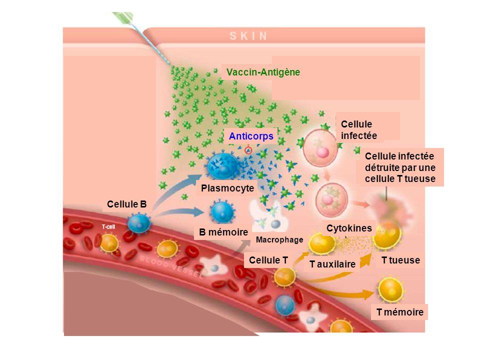 Vaccin-Antigène Anticorps Cellule B B mémoire Plasmocyte Cellule T T mémoire T tueuse Cytokines T auxilaire Macrophage Cellule infectée Cellule infect