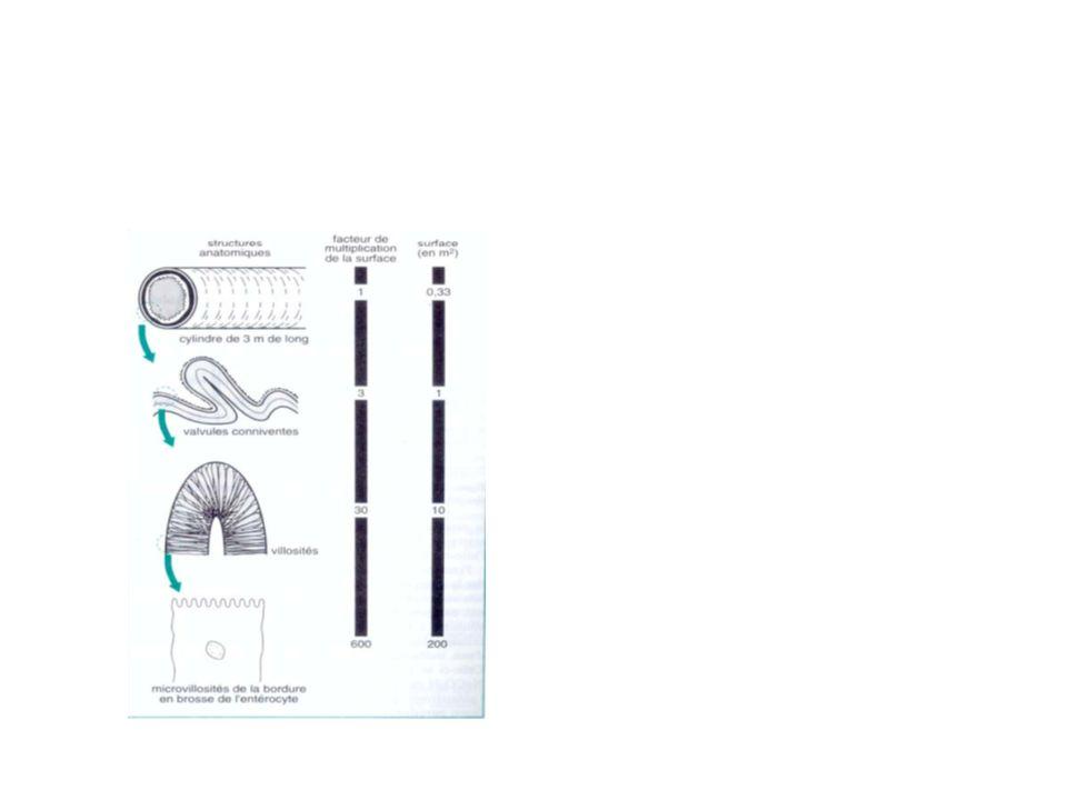 Structure de l'intestin:les microvillosités