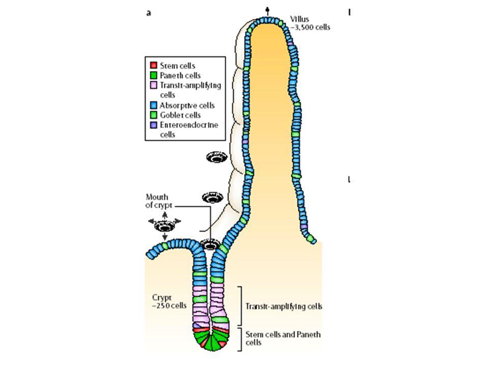 Les entérocytes