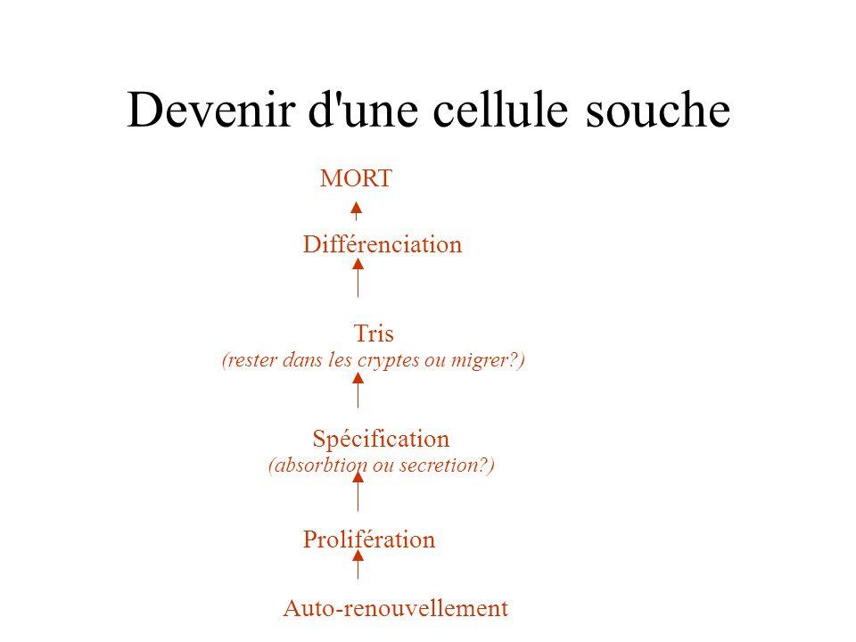 donc… 2 spécifications différentes 4 types cellulaires différents Localisations différente Et pourtant proviennent de la même cellule
