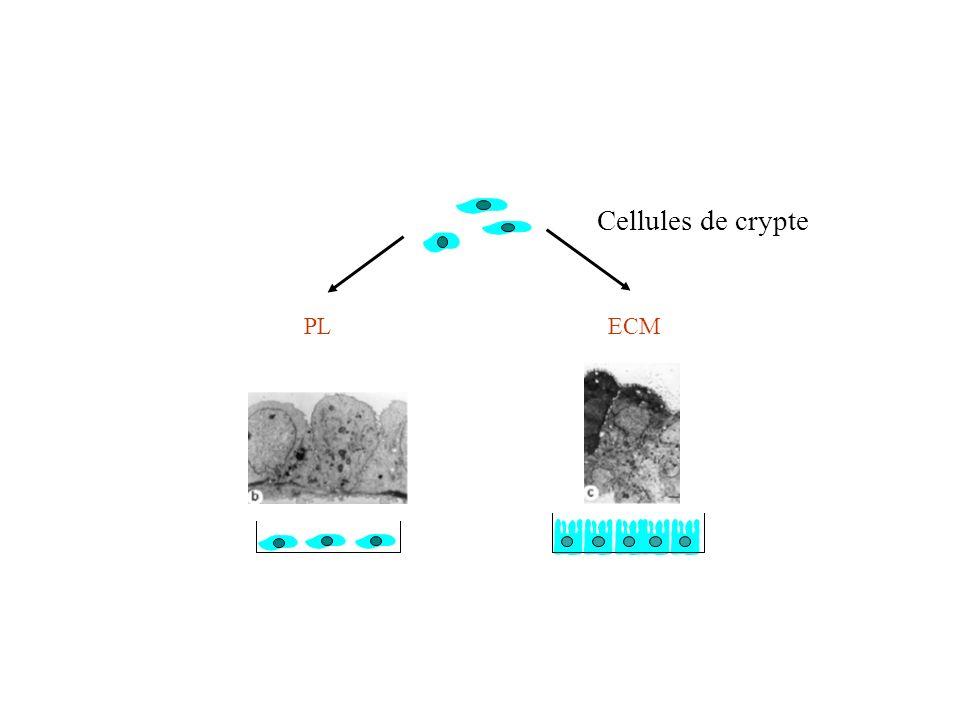 Une vieille expérience... Matrice extracellulaire et différenciation