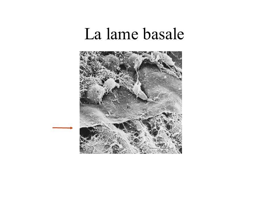 PLECM Cellules de villosité