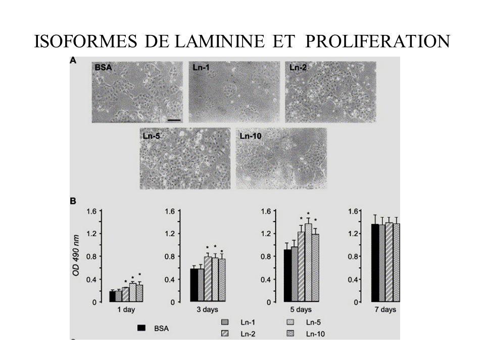 conclusions Les isoformes de ln ont des effets differents sur l'adhésion et l'étalement des cellules. La ln -10 est la plus adhésive, suivie de la ln-
