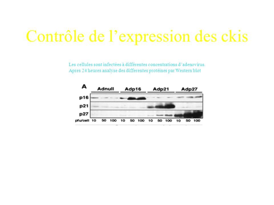 Méthode Utilisation de la lignée HIEC6: cellules issues de cryptes Surexpression par infection de: Vecteur seulAdnull p16Adp16 p21Adp21 p27Adp27 Analy