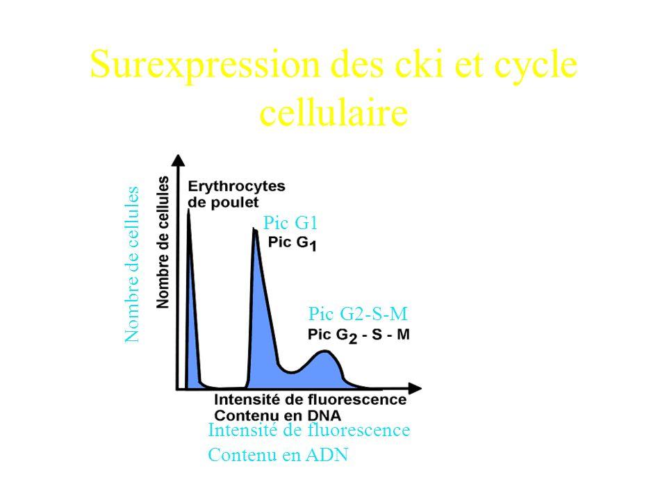 Conclusions P16, P21 et P27 inhibent la prolifération de facon dose-dépendante. Plus défficacité pour P27, p21 puis P16 Leffet de P27 est irreversible