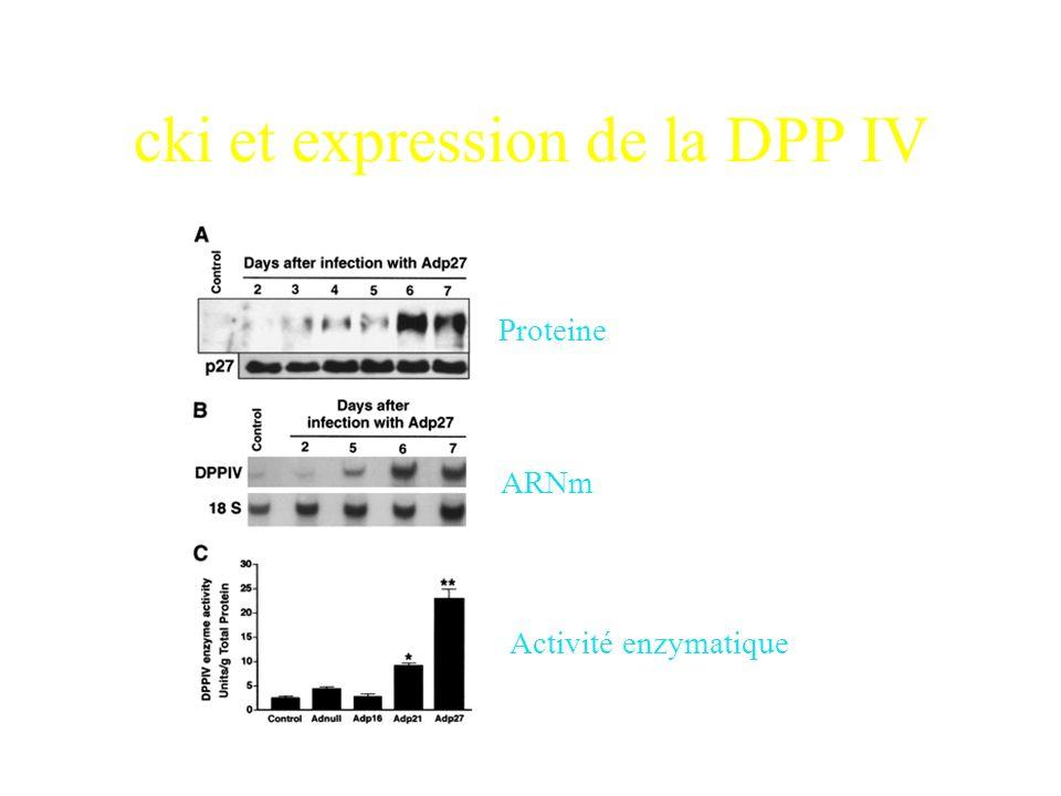 Conclusions Lexpression des CKI entraine: p16: cellules polygonales mais pas de microvillosité p27: cellules polygonales avec presence de nombreuses m