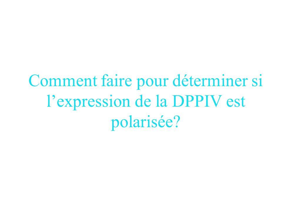 Conclusions p27et dans une moindre mesure p21 induisent lexpression de la DPPIV fonctionnelle. Localisation a la membrane plasmique. Polarisation?????