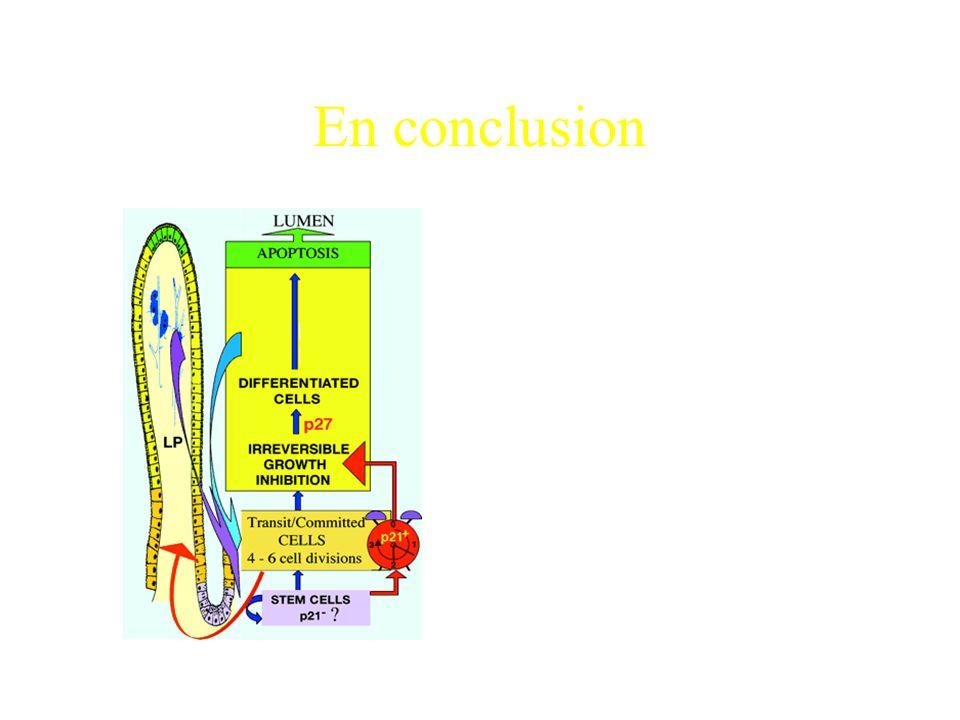 Conclusions p27et dans une moindre mesure p21 induisent lexpression de lAPN.