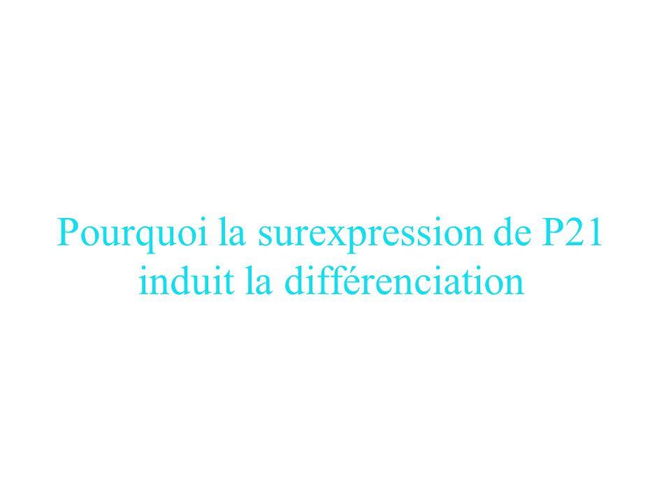 Comment peut on aller plus loin dans l'étude? In vivo…Il existe dautres facteurs que les CKI. Souris KO pour P21… lintestin est normal. Cancer: dans l