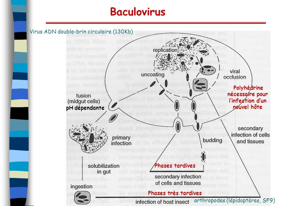 pH dépendante Phases tardives Phases très tardives Baculovirus Virus ADN double-brin circulaire (130Kb) arthropodes (lépidoptères, SF9) Polyhédrine né