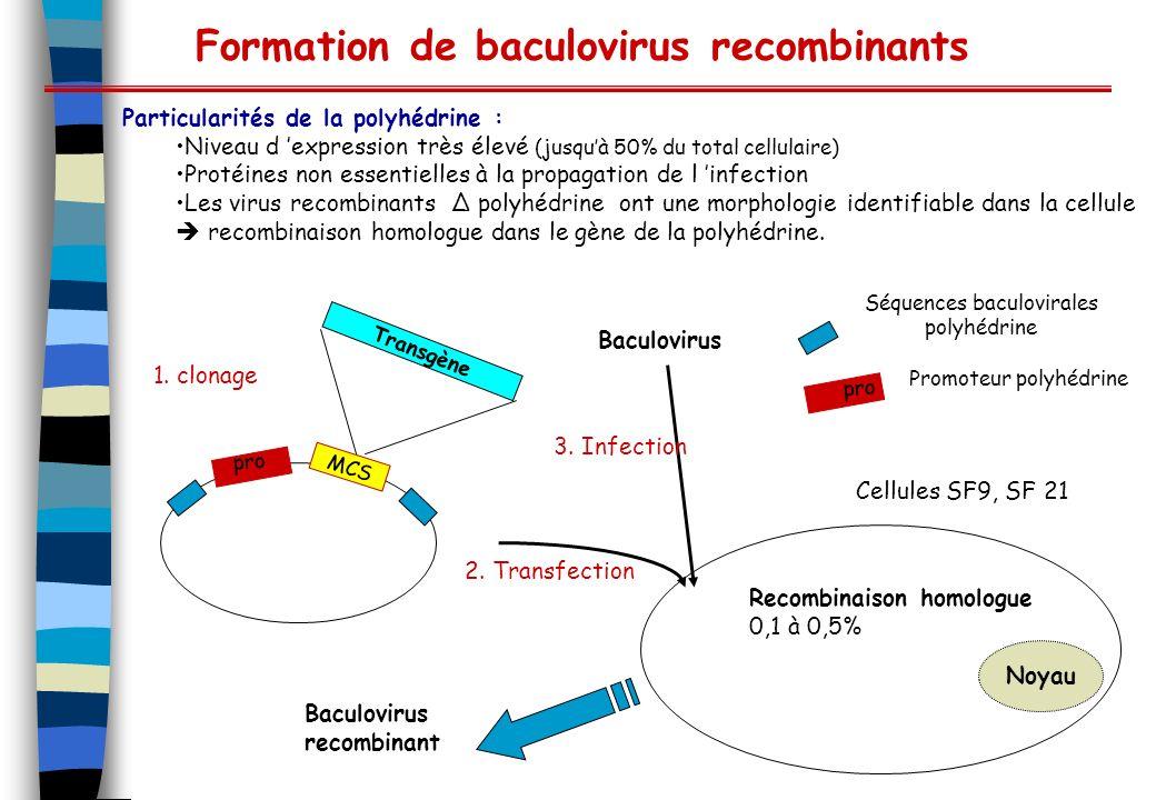 Formation de baculovirus recombinants Particularités de la polyhédrine : Niveau d expression très élevé (jusquà 50% du total cellulaire) Protéines non