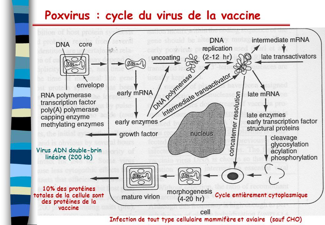 Poxvirus : cycle du virus de la vaccine Cycle entièrement cytoplasmique Virus ADN double-brin linéaire (200 kb) Infection de tout type cellulaire mamm