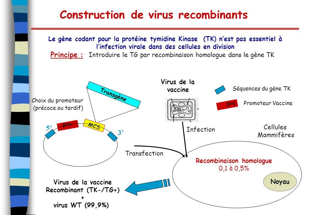 Construction de virus recombinants Le gène codant pour la protéine tymidine Kinase (TK) nest pas essentiel à linfection virale dans des cellules en di
