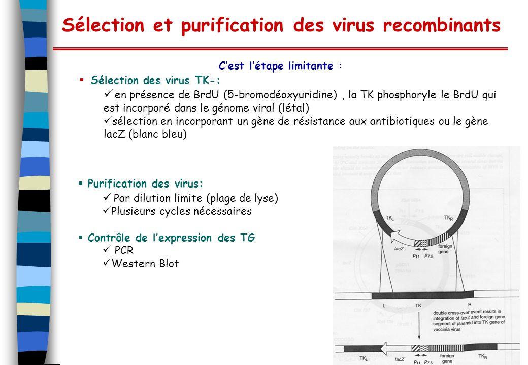 Sélection et purification des virus recombinants Cest létape limitante : Sélection des virus TK- : en présence de BrdU (5-bromodéoxyuridine), la TK ph