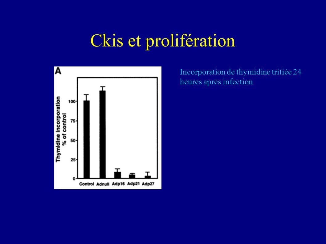 Conclusions Linfection des cellules par ladenovirus + cDNA exogène induit lexpression des ckis La surexpression de P21 entraine lexpression de P27 (P27 sous le contrôle de p21?)