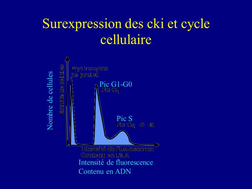 Conclusions P16, P21 et P27 inhibent la prolifération de façon dose-dépendante.