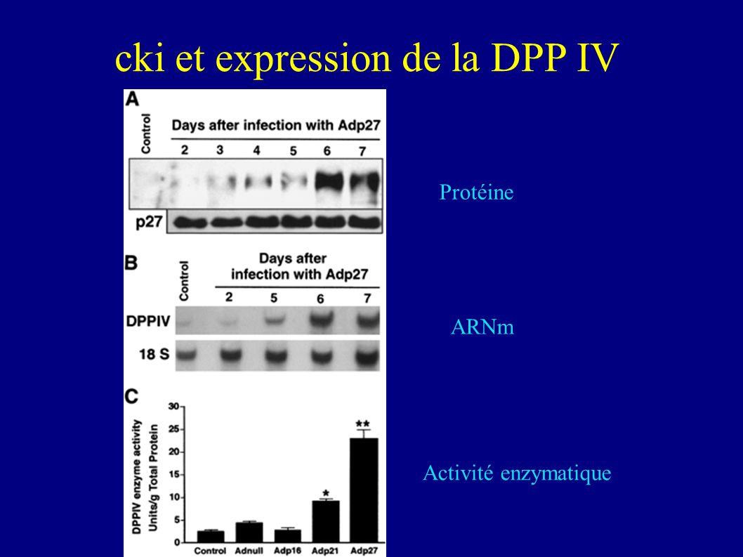Conclusions Lexpression des CKI entraîne: p16: cellules polygonales mais pas de microvillosité p27: cellules polygonales avec présence de nombreuses microvillosités.