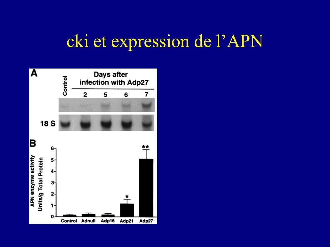 Conclusions p27et dans une moindre mesure p21 induisent lexpression de la DPPIV fonctionnelle.