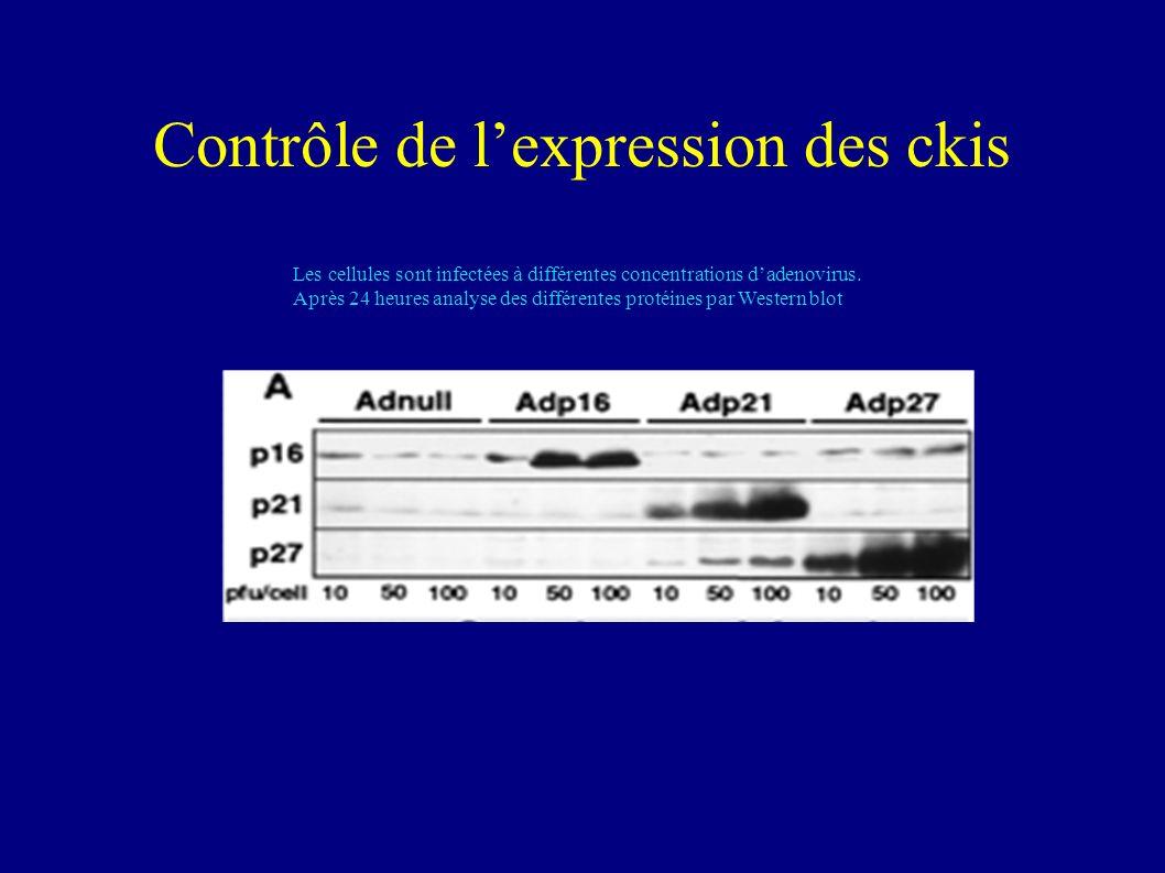 Comment peut on aller plus loin dans l étude.In vivo…Il existe dautres facteurs que les CKI.