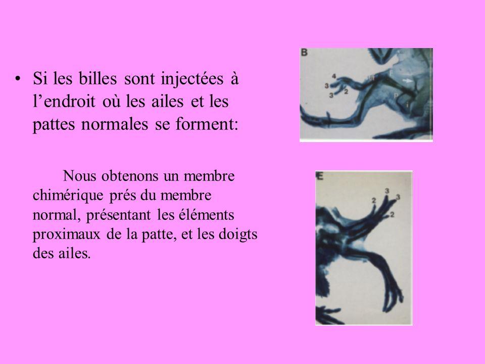 Si les billes sont injectées à lendroit où les ailes et les pattes normales se forment: Nous obtenons un membre chimérique prés du membre normal, présentant les éléments proximaux de la patte, et les doigts des ailes.