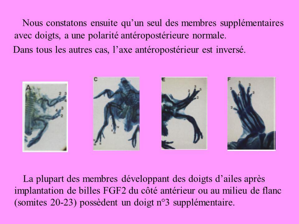 Nous constatons ensuite quun seul des membres supplémentaires avec doigts, a une polarité antéropostérieure normale.