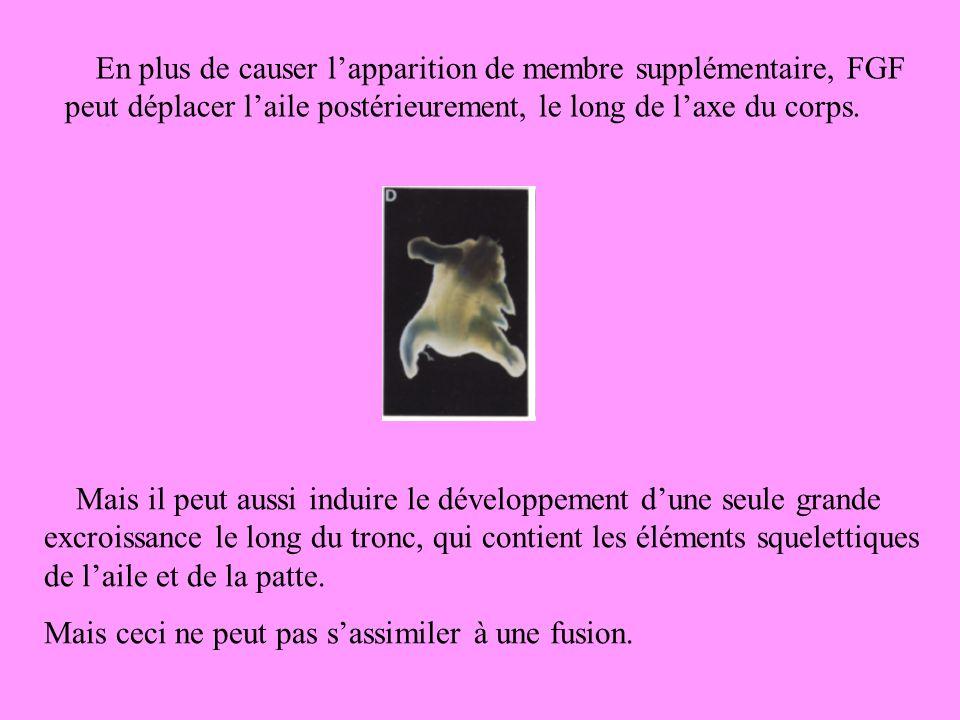 En plus de causer lapparition de membre supplémentaire, FGF peut déplacer laile postérieurement, le long de laxe du corps.