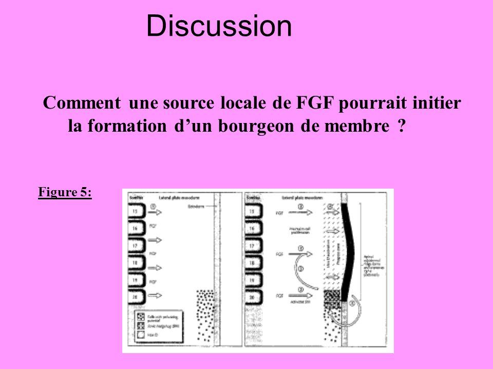 Discussion Figure 5: Comment une source locale de FGF pourrait initier la formation dun bourgeon de membre ?