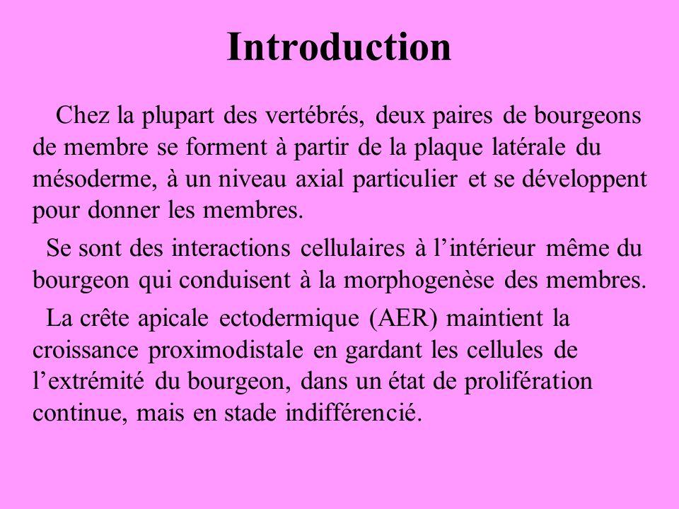 Introduction Chez la plupart des vertébrés, deux paires de bourgeons de membre se forment à partir de la plaque latérale du mésoderme, à un niveau axial particulier et se développent pour donner les membres.
