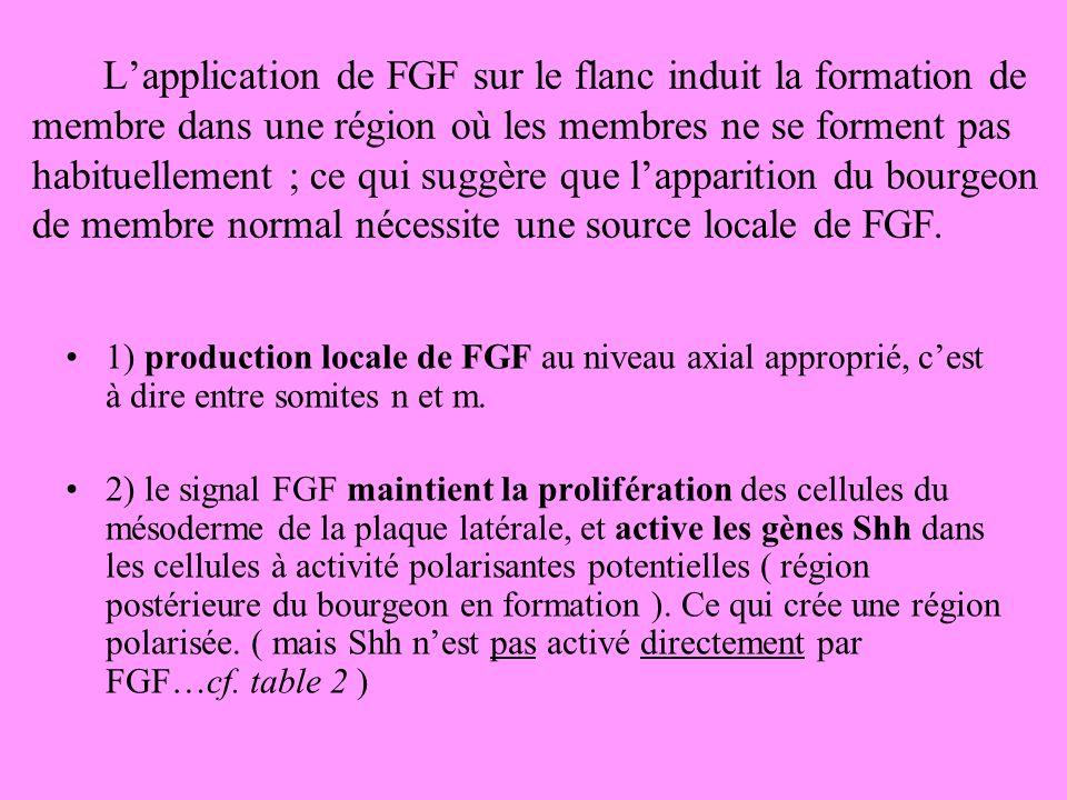 Lapplication de FGF sur le flanc induit la formation de membre dans une région où les membres ne se forment pas habituellement ; ce qui suggère que lapparition du bourgeon de membre normal nécessite une source locale de FGF.
