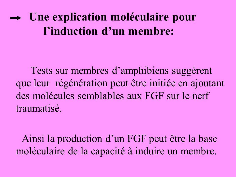Une explication moléculaire pour linduction dun membre: Tests sur membres damphibiens suggèrent que leur régénération peut être initiée en ajoutant des molécules semblables aux FGF sur le nerf traumatisé.