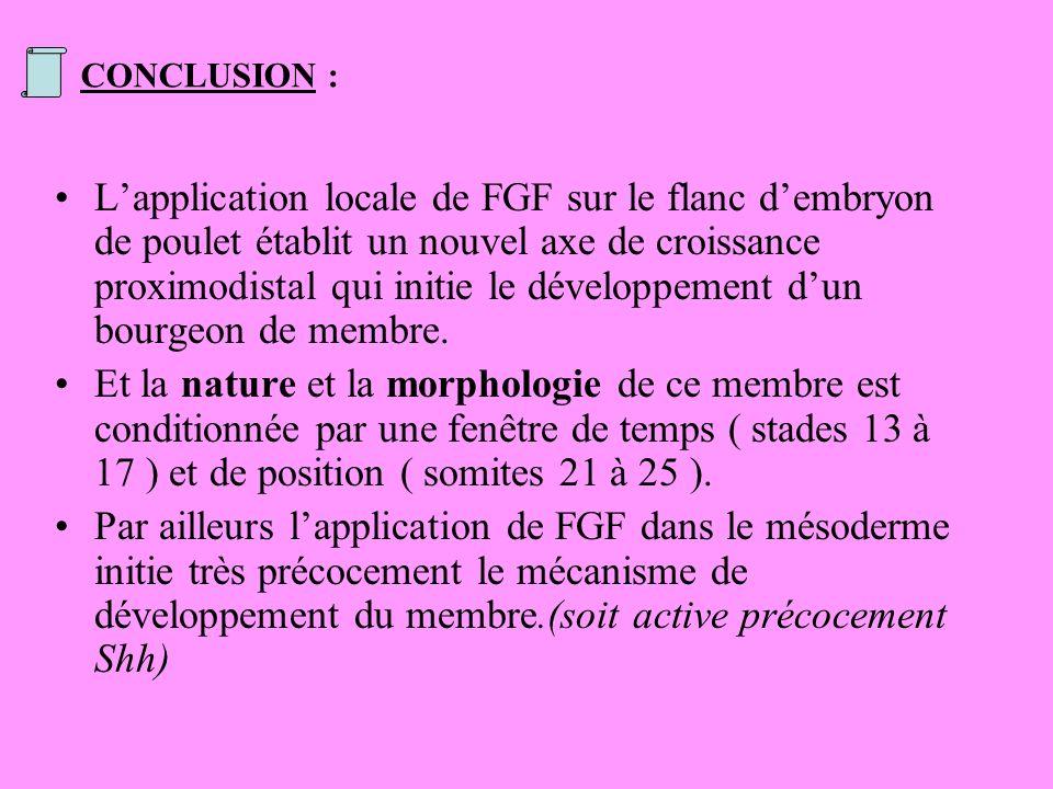 CONCLUSION : Lapplication locale de FGF sur le flanc dembryon de poulet établit un nouvel axe de croissance proximodistal qui initie le développement dun bourgeon de membre.