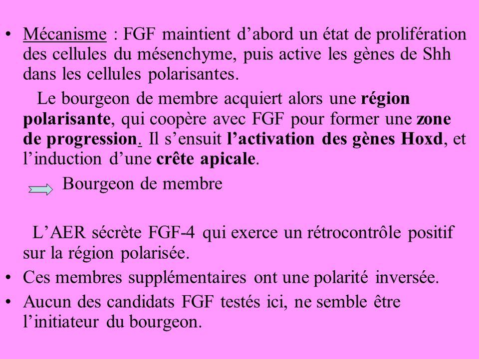 Mécanisme : FGF maintient dabord un état de prolifération des cellules du mésenchyme, puis active les gènes de Shh dans les cellules polarisantes.