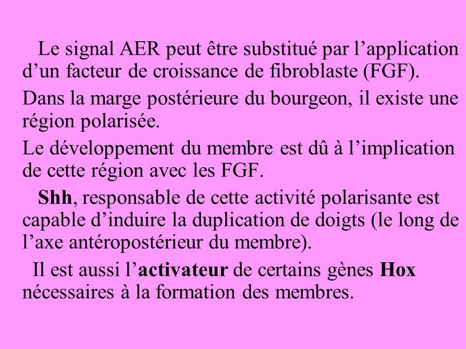 Le signal AER peut être substitué par lapplication dun facteur de croissance de fibroblaste (FGF).