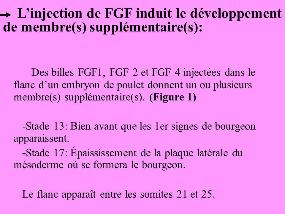 Des billes FGF1, FGF 2 et FGF 4 injectées dans le flanc dun embryon de poulet donnent un ou plusieurs membre(s) supplémentaire(s).