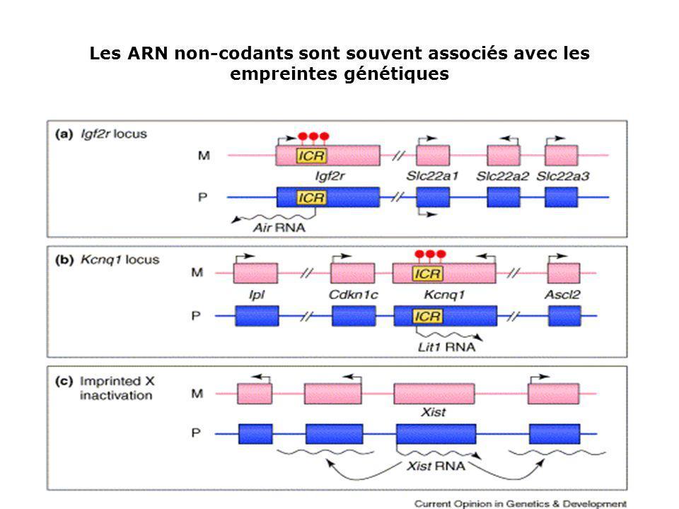 Les ARN non-codants sont souvent associés avec les empreintes génétiques
