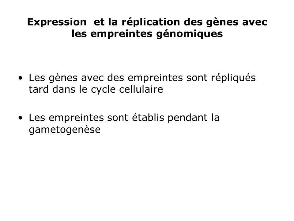 Expression et la réplication des gènes avec les empreintes génomiques Les gènes avec des empreintes sont répliqués tard dans le cycle cellulaire Les e