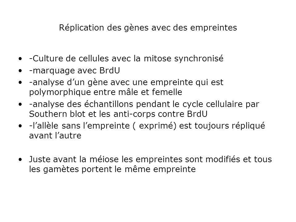 Réplication des gènes avec des empreintes -Culture de cellules avec la mitose synchronisé -marquage avec BrdU -analyse dun gène avec une empreinte qui