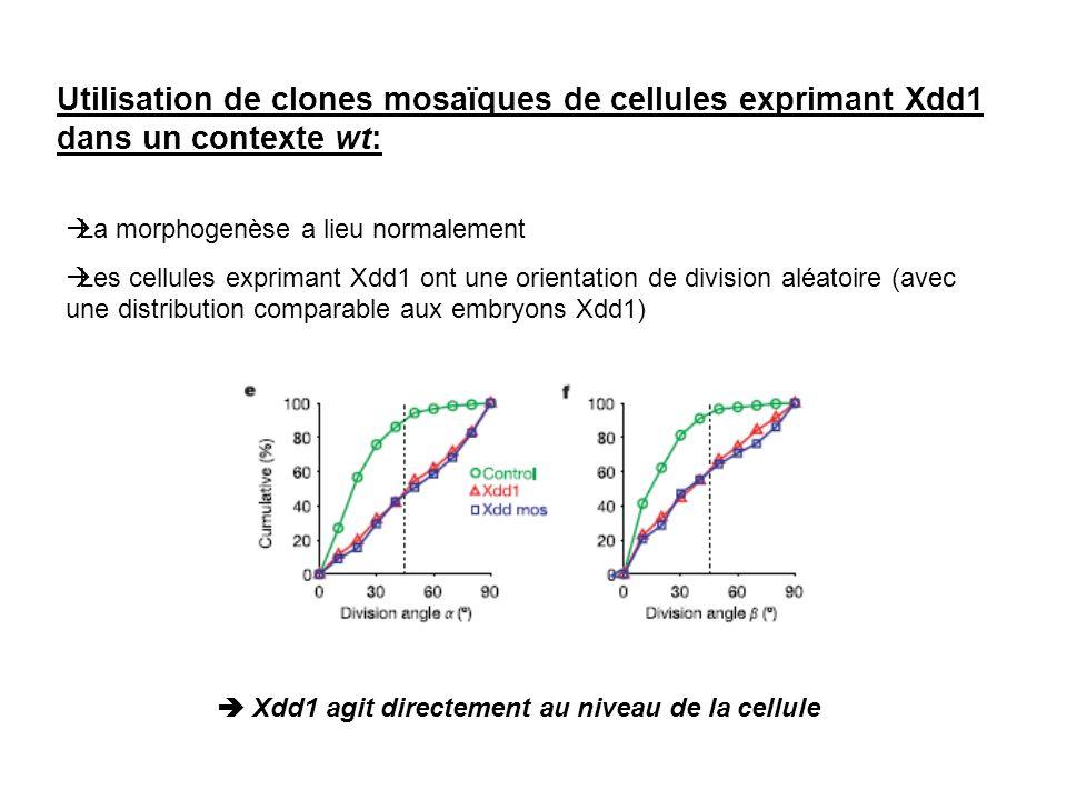 Utilisation de clones mosaïques de cellules exprimant Xdd1 dans un contexte wt: La morphogenèse a lieu normalement Les cellules exprimant Xdd1 ont une