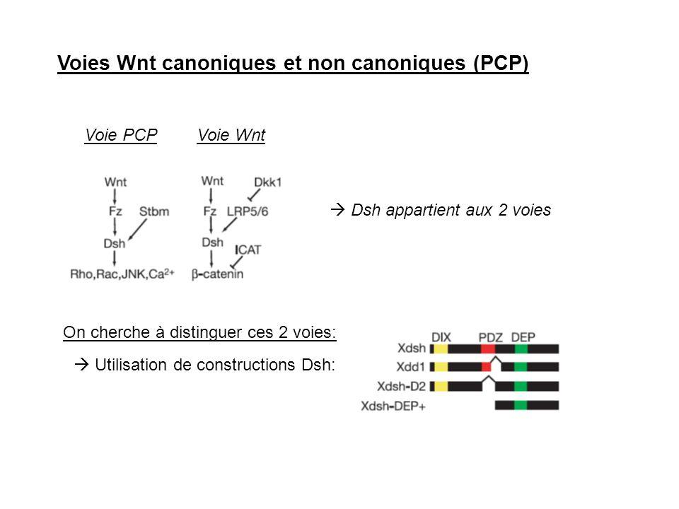 Voies Wnt canoniques et non canoniques (PCP) Dsh appartient aux 2 voies Voie PCPVoie Wnt On cherche à distinguer ces 2 voies: Utilisation de construct