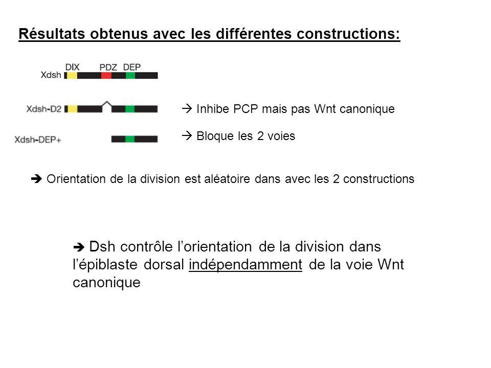 Résultats obtenus avec les différentes constructions: Inhibe PCP mais pas Wnt canonique Bloque les 2 voies Orientation de la division est aléatoire da