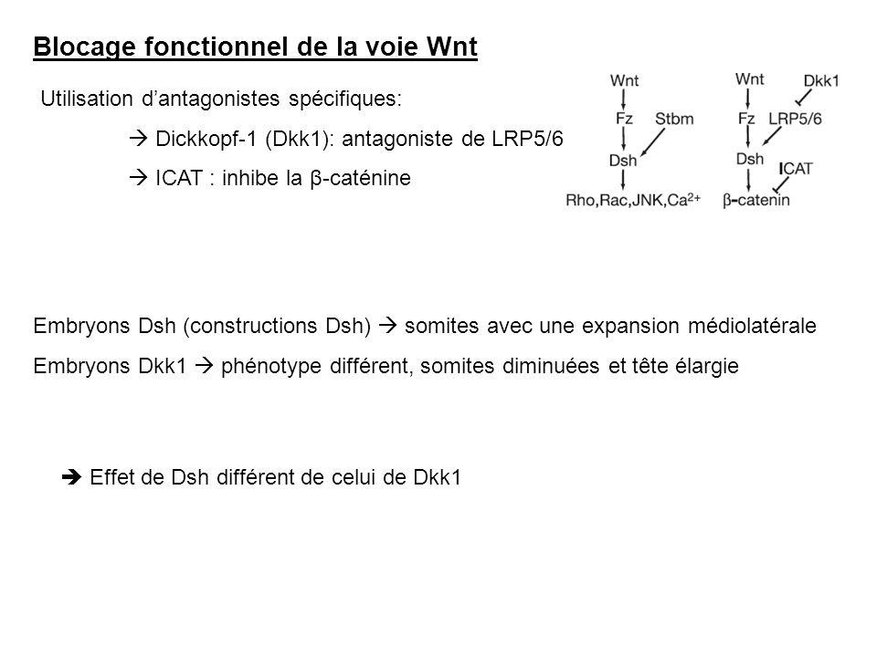 Blocage fonctionnel de la voie Wnt Utilisation dantagonistes spécifiques: Dickkopf-1 (Dkk1): antagoniste de LRP5/6 ICAT : inhibe la β-caténine Embryon