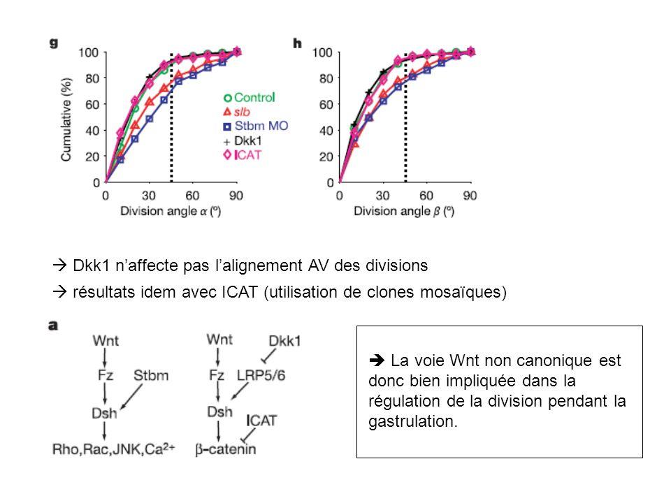 Dkk1 naffecte pas lalignement AV des divisions résultats idem avec ICAT (utilisation de clones mosaïques) La voie Wnt non canonique est donc bien impl