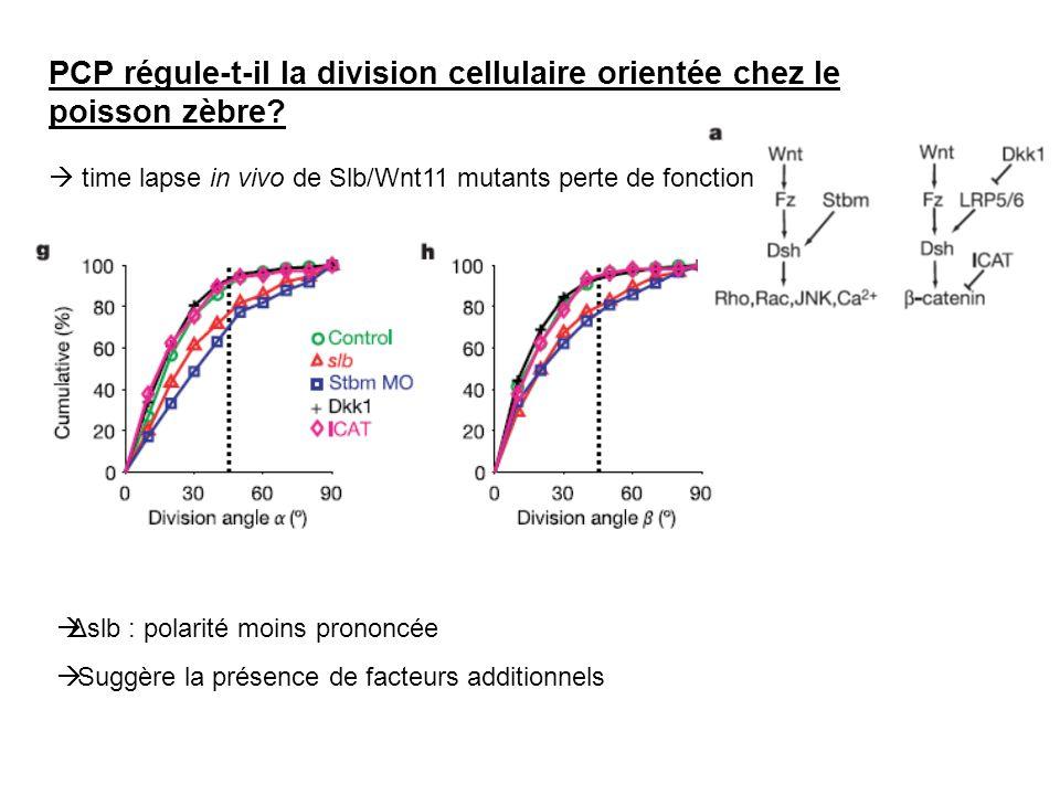 PCP régule-t-il la division cellulaire orientée chez le poisson zèbre? time lapse in vivo de Slb/Wnt11 mutants perte de fonction Δslb : polarité moins