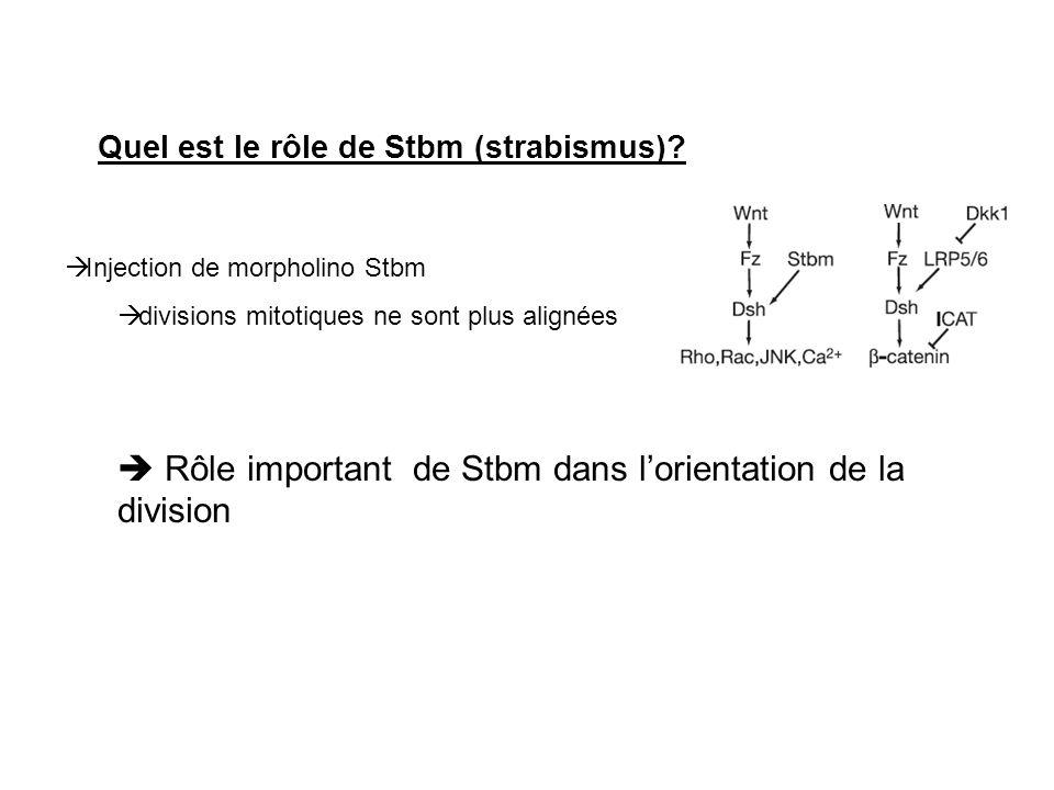 Quel est le rôle de Stbm (strabismus)? Injection de morpholino Stbm divisions mitotiques ne sont plus alignées Rôle important de Stbm dans lorientatio