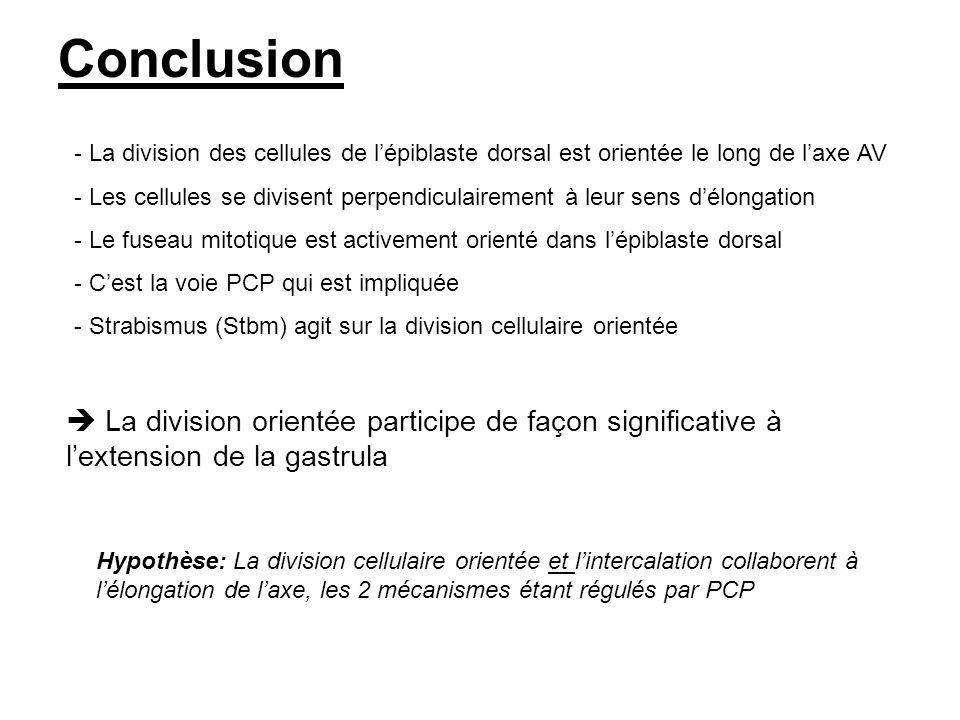 Conclusion La division orientée participe de façon significative à lextension de la gastrula - La division des cellules de lépiblaste dorsal est orien