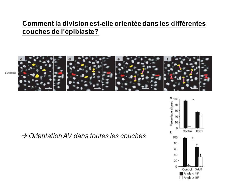 Comment la division est-elle orientée dans les différentes couches de lépiblaste? Orientation AV dans toutes les couches