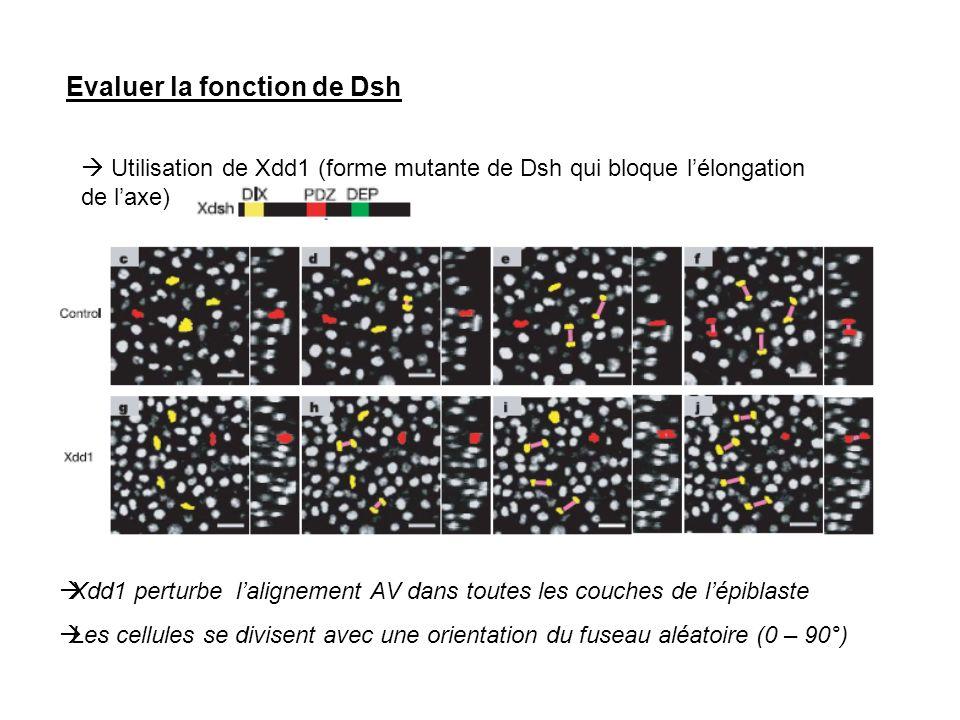 Evaluer la fonction de Dsh Utilisation de Xdd1 (forme mutante de Dsh qui bloque lélongation de laxe) Xdd1 perturbe lalignement AV dans toutes les couc
