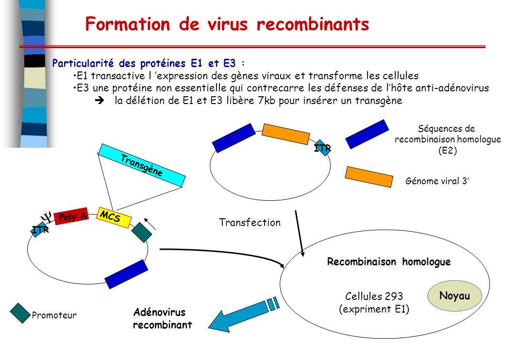 Formation de virus recombinants Particularité des protéines E1 et E3 : E1 transactive l expression des gènes viraux et transforme les cellules E3 une protéine non essentielle qui contrecarre les défenses de lhôte anti-adénovirus la délétion de E1 et E3 libère 7kb pour insérer un transgène Transfection Recombinaison homologue Noyau MCS Transgène Cellules 293 (expriment E1) Adénovirus recombinant ITR Poly A Promoteur Séquences de recombinaison homologue (E2) ITR Génome viral 3