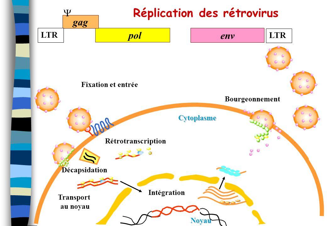 Vecteurs rétroviraux Particularités des rétrovirus Virus enveloppés pseudotype HIV/VSV env (ou autre protéines d enveloppe) Leur génome est un ARN + de taille réduite (10kb) limitation de la taille des inserts Ils intègrent leur matériel génétique de manière aléatoire risque de transformation Ils infectent largement les cellules mammifères Les lentivirus infectent les cellules quiescentes